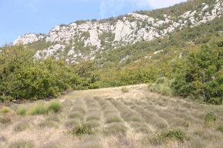 Plaisians, champ de lavande (c) Yves TRAYNARD - 2005