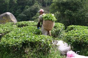 Cameron Highlands, Cueilleurs de thé (c) Yves Traynard 2007