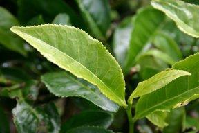 Cameron Highlands, feuille de thé (c) Yves Traynard 2007