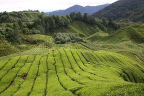 Cameron Highlands, Plantation de thé (c) Yves Traynard 2007