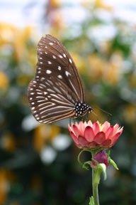 Cameron Highlands, Papillon (c) Yves Traynard 2007