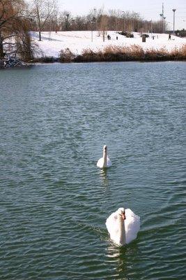 Créteil, cygnes sur le lac (c) Yves Traynard 2006