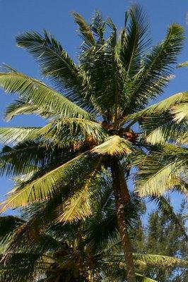 Bilene, palmier (c) Yves Traynard 2006