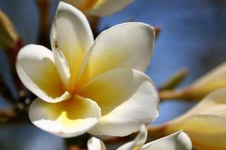 Ilha, Fleur de frangipanier (c) Yves TRaynard 2006