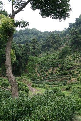 Hangzhou, Plantation de thé (c) Yves Traynard 2009