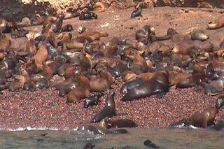Pérou, Les Islas Ballestras, Phoques (c) André Monneron 2006